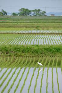田園と鷺の写真素材 [FYI01552395]