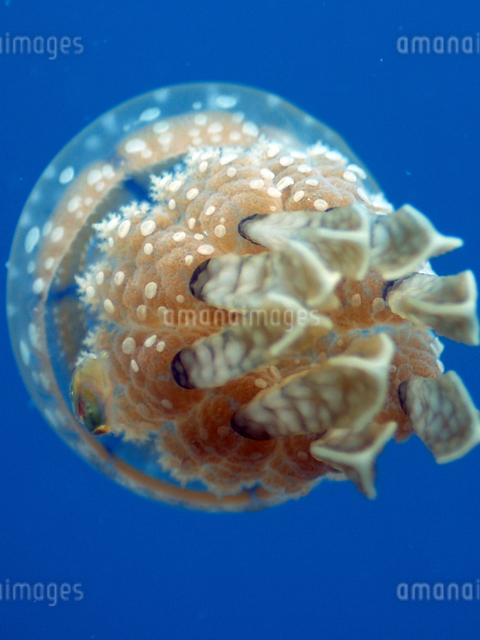 タコクラゲの写真素材 [FYI01552421]