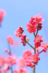梅の写真素材 [FYI01552598]