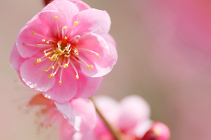 梅の写真素材 [FYI01552654]