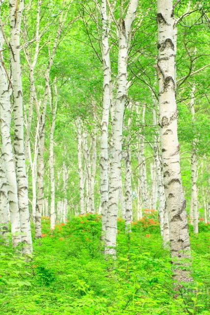 シラカバ林の写真素材 [FYI01552769]
