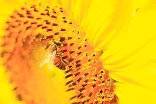 ミツバチとヒマワリの写真素材 [FYI01552881]