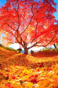 カエデの紅葉と太陽 長福寺の写真素材 [FYI01552895]
