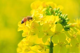 菜の花とミツバチの写真素材 [FYI01552957]