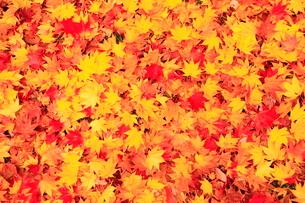 カエデの落ち葉の写真素材 [FYI01552967]