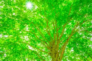 ブナの木と太陽の写真素材 [FYI01553168]