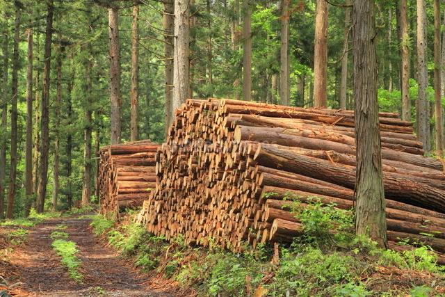 間伐材の写真素材 [FYI01553333]