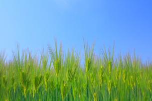 大麦と空の写真素材 [FYI01553546]