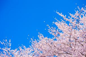 サクラと青空の写真素材 [FYI01553592]