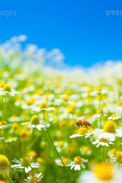 カモミールとミツバチの写真素材 [FYI01553676]