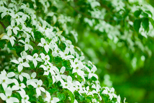 ヤマボウシの花の写真素材 [FYI01553709]