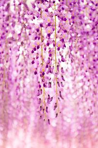 フジの花の写真素材 [FYI01554276]