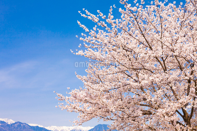 サクラと青空の写真素材 [FYI01554279]
