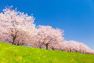 サクラ並木と青空の写真素材 [FYI01554426]