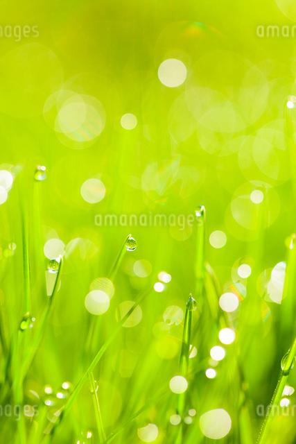 朝露のついた草の写真素材 [FYI01554499]
