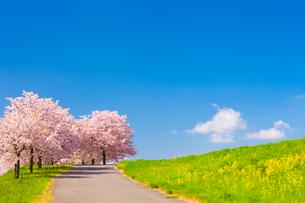 千曲川堤防の桜堤の写真素材 [FYI01554708]