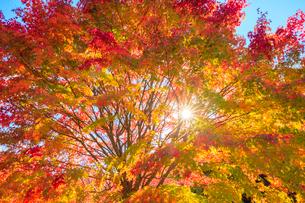 紅葉と木漏れ日の写真素材 [FYI01554797]