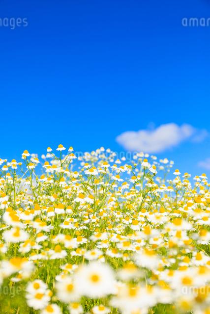 カモミール畑と青空の写真素材 [FYI01554884]