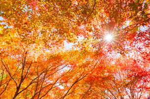 紅葉と木漏れ日の写真素材 [FYI01554938]