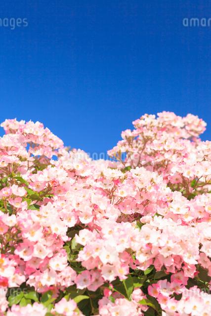 バラと青空の写真素材 [FYI01554987]