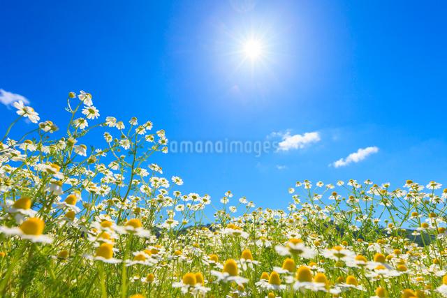 カモミール畑と青空と太陽の写真素材 [FYI01555038]