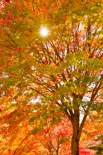紅葉と木漏れ日の写真素材 [FYI01555106]
