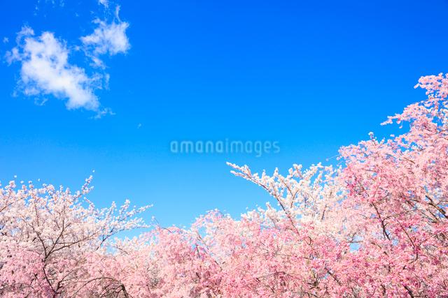 サクラと青空の写真素材 [FYI01555259]