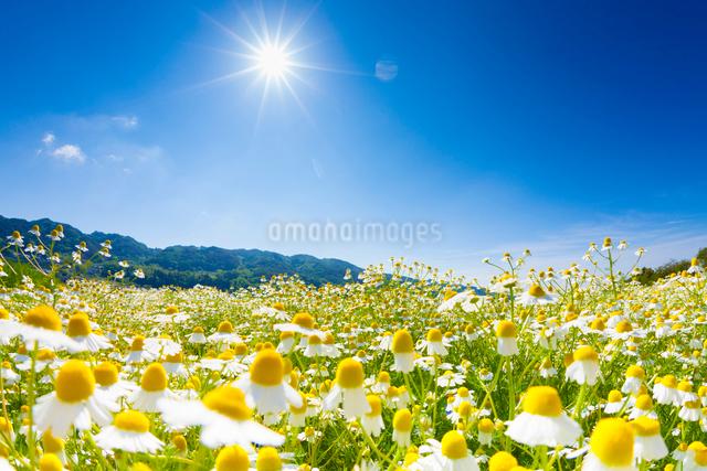 カモミール畑と太陽の写真素材 [FYI01555308]