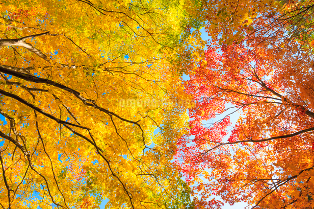 秋のカエデの写真素材 [FYI01555575]