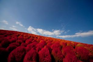 ひたち海浜公園のコキアの紅葉の写真素材 [FYI01555813]
