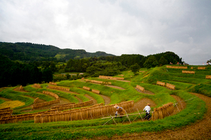 大山の千枚田の写真素材 [FYI01555877]