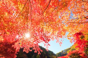 紅葉と太陽の写真素材 [FYI01555979]