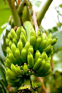 バナナの写真素材 [FYI01556010]