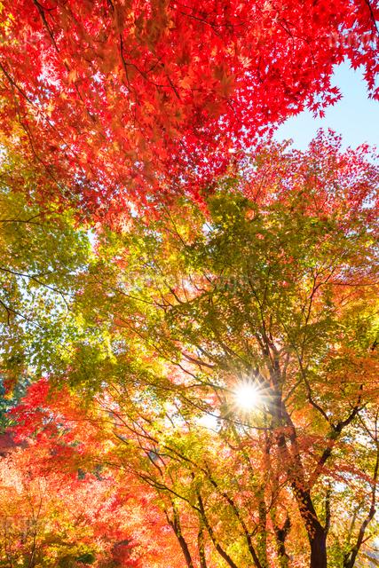 紅葉と太陽の写真素材 [FYI01556287]