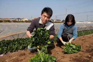 収穫したホーレンソウを持つ農家の写真素材 [FYI01556311]