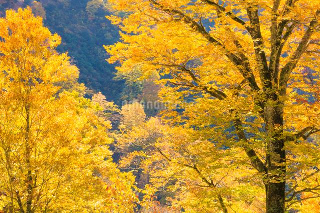 黄葉したブナの写真素材 [FYI01556338]