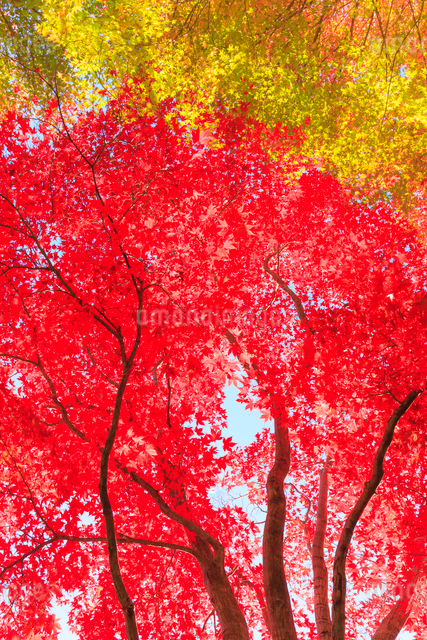 紅葉の写真素材 [FYI01556395]