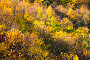 シラカバ黄葉の写真素材 [FYI01556535]
