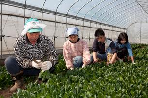ホーレンソウの収穫をする農家の写真素材 [FYI01556792]