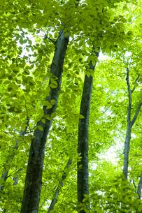 松之山美人林の写真素材 [FYI01556985]