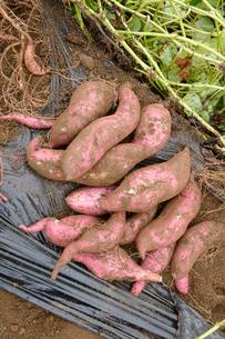 埼玉県伝統野菜太白サツマイモ畑の写真素材 [FYI01556995]