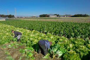 伝統野菜花芯山東菜を収穫するの写真素材 [FYI01557158]