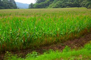酪農用トウモロコシ畑の写真素材 [FYI01557167]
