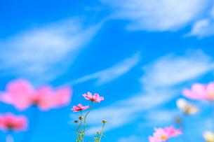 コスモスと青空の写真素材 [FYI01557168]