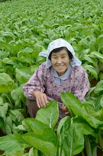 埼玉県伝統野菜シャクシナ畑と農婦の写真素材 [FYI01557549]