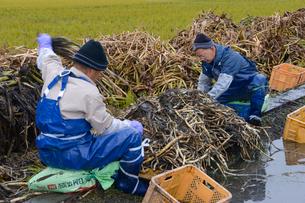 伝統野菜クワイを取りだす作業の写真素材 [FYI01557647]