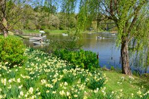 アンデルセン公園 水仙咲く太陽の池の写真素材 [FYI01557744]