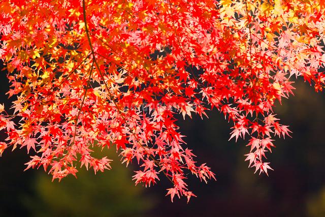 紅葉の写真素材 [FYI01557792]