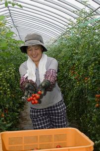 ミニトマトの収穫の写真素材 [FYI01557830]