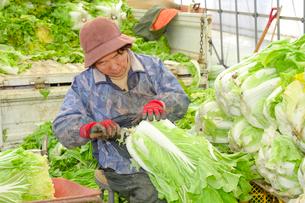 伝統野菜花芯山東菜の出荷準備の写真素材 [FYI01557853]